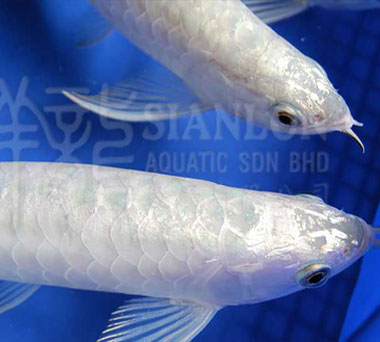 Chilbanjara arowana fishi Red Tanning