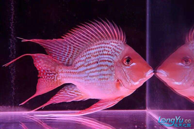Pikonni fish Tiger fish ASIAN AROWANA,AROWANA,STINGRAY The3sheet