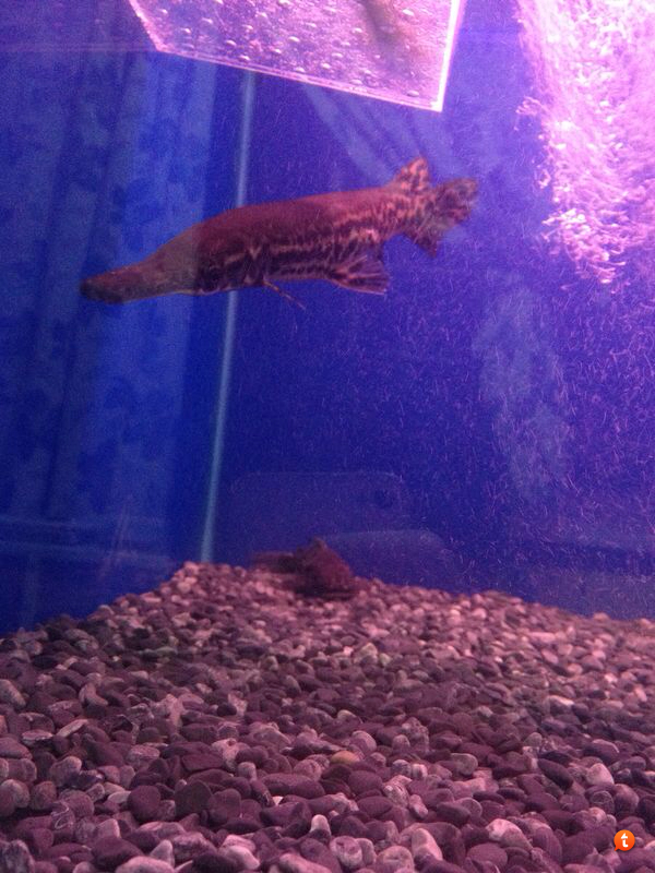 Is this Alligator Gar???