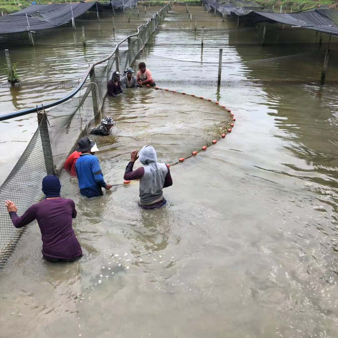 Fishing Scene at Sianlon arowana fish farm