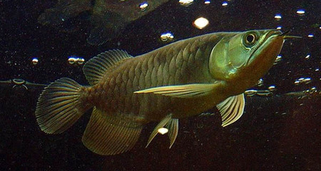 Fish rubs against tank surface AROWANA Forum