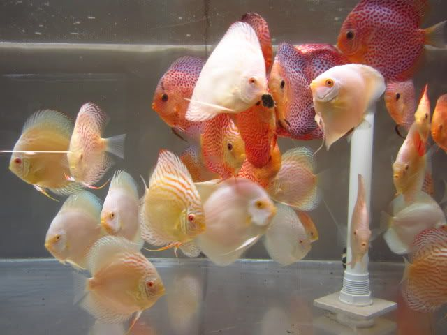 September 2012 Discus Shipment Has Arriv AROWANA Forum ASIAN AROWANA,AROWANA,STINGRAY The1sheet
