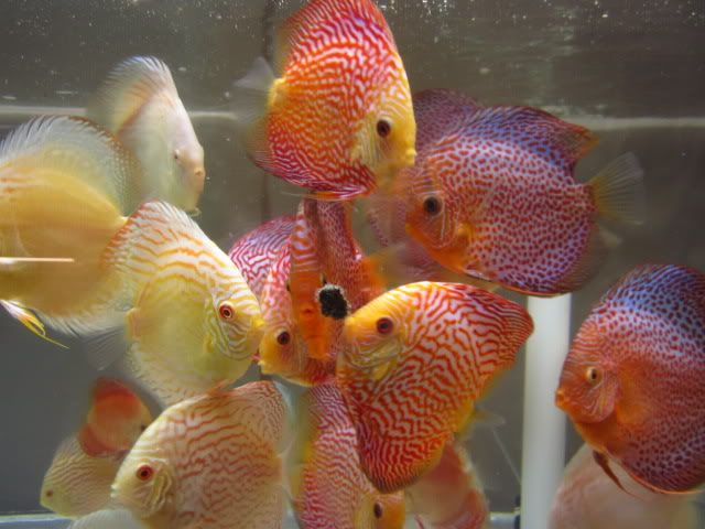 September 2012 Discus Shipment Has Arriv AROWANA Forum ASIAN AROWANA,AROWANA,STINGRAY The2sheet