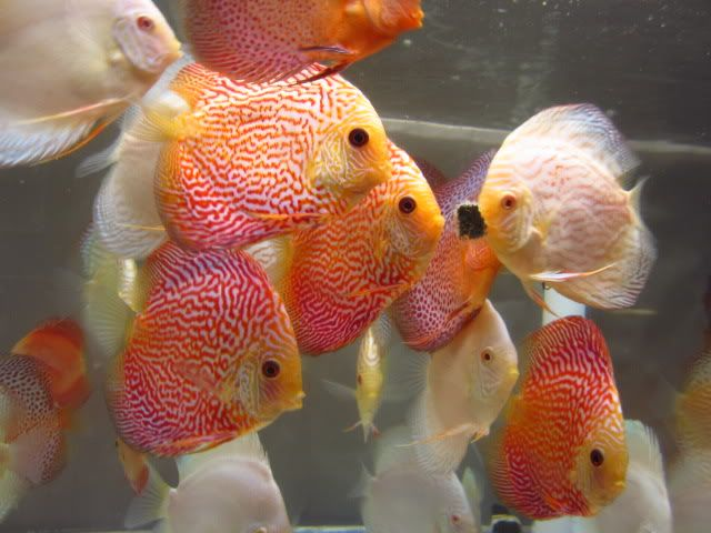 September 2012 Discus Shipment Has Arriv AROWANA Forum ASIAN AROWANA,AROWANA,STINGRAY The3sheet
