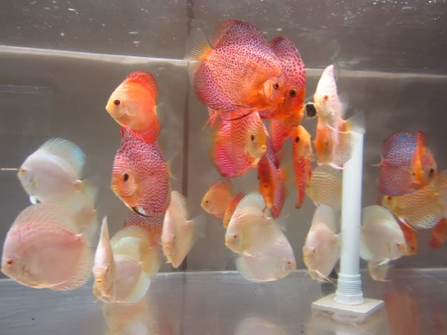 September 2012 Discus Shipment Has Arriv AROWANA Forum ASIAN AROWANA,AROWANA,STINGRAY The4sheet