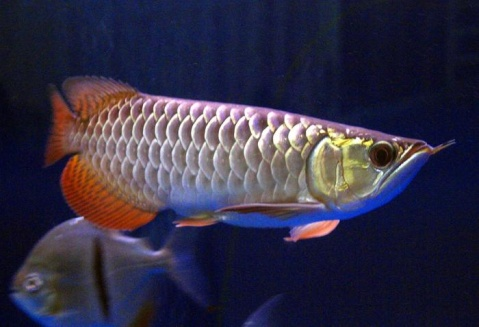 0000 AROWANA Forum ASIAN AROWANA,AROWANA,STINGRAY The2sheet