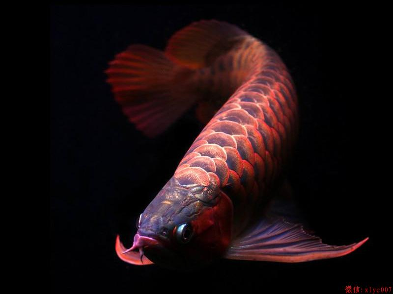 Orange Red Arowana Asian Arowana