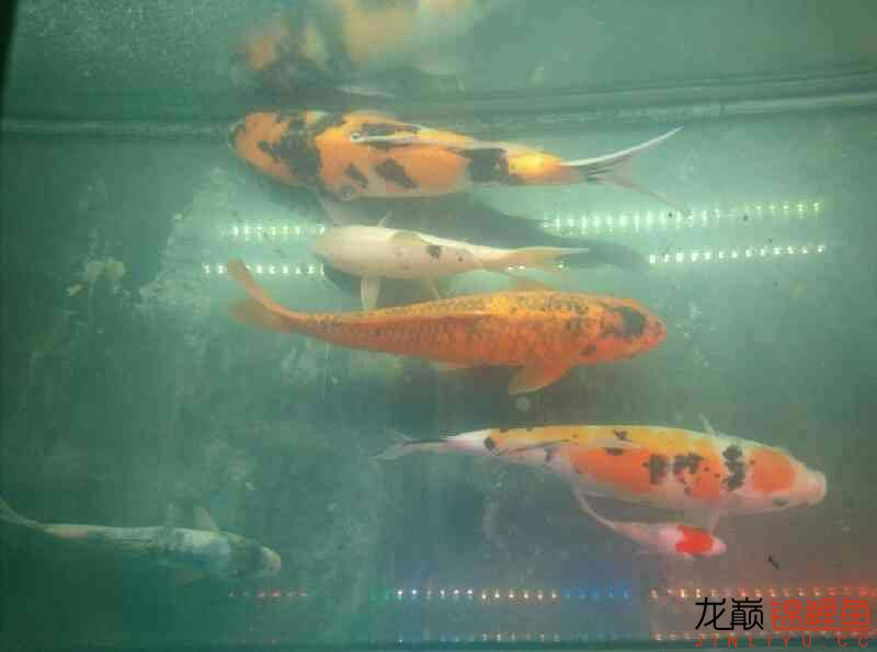 Super Redfish AROWANA Forum ASIAN AROWANA,AROWANA,STINGRAY The4sheet