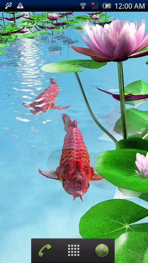 Whats wrong with my parrot? Is it ascites? AROWANA Forum ASIAN AROWANA,AROWANA,STINGRAY The7sheet