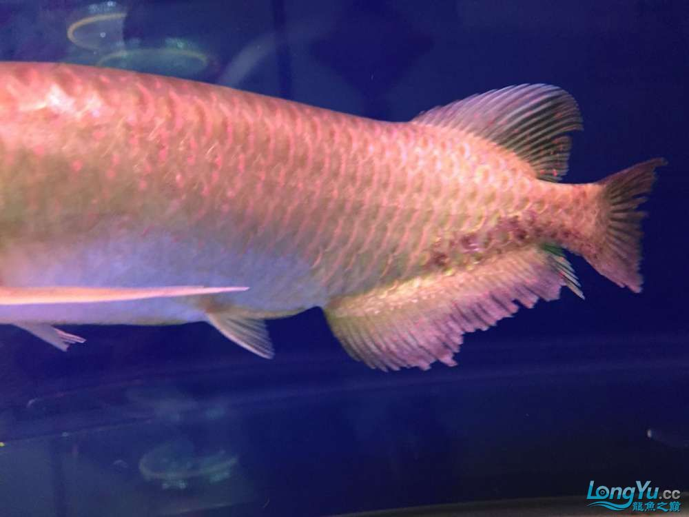 How to cure my star point AROWANA Forum ASIAN AROWANA,AROWANA,STINGRAY The6sheet