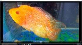 blue base arowanaWhat kind of yellow is this? AROWANA Forum ASIAN AROWANA,AROWANA,STINGRAY The1sheet