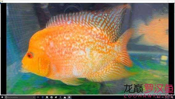 blue base arowanaWhat kind of yellow is this? AROWANA Forum ASIAN AROWANA,AROWANA,STINGRAY The2sheet