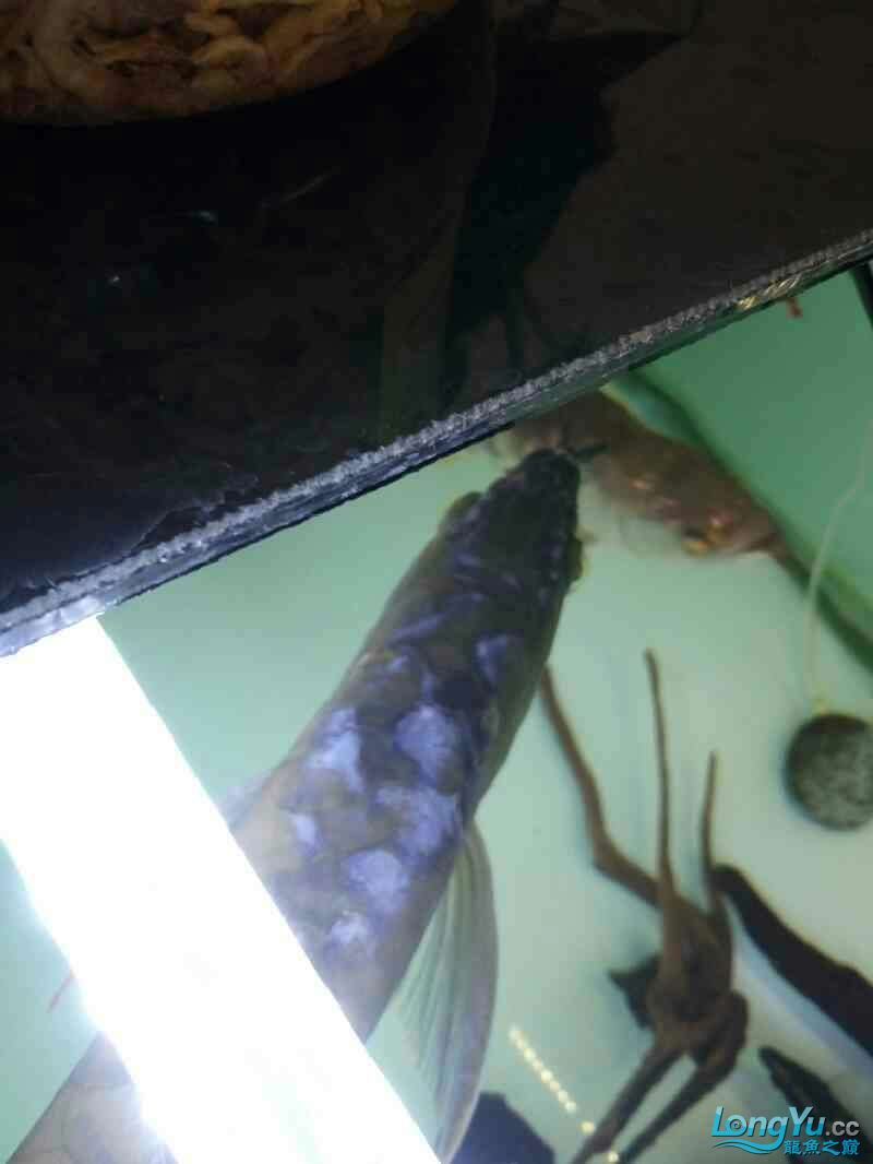 Yinlongs miserable jump jump Aquaculture Forum ASIAN AROWANA,AROWANA,STINGRAY The1sheet