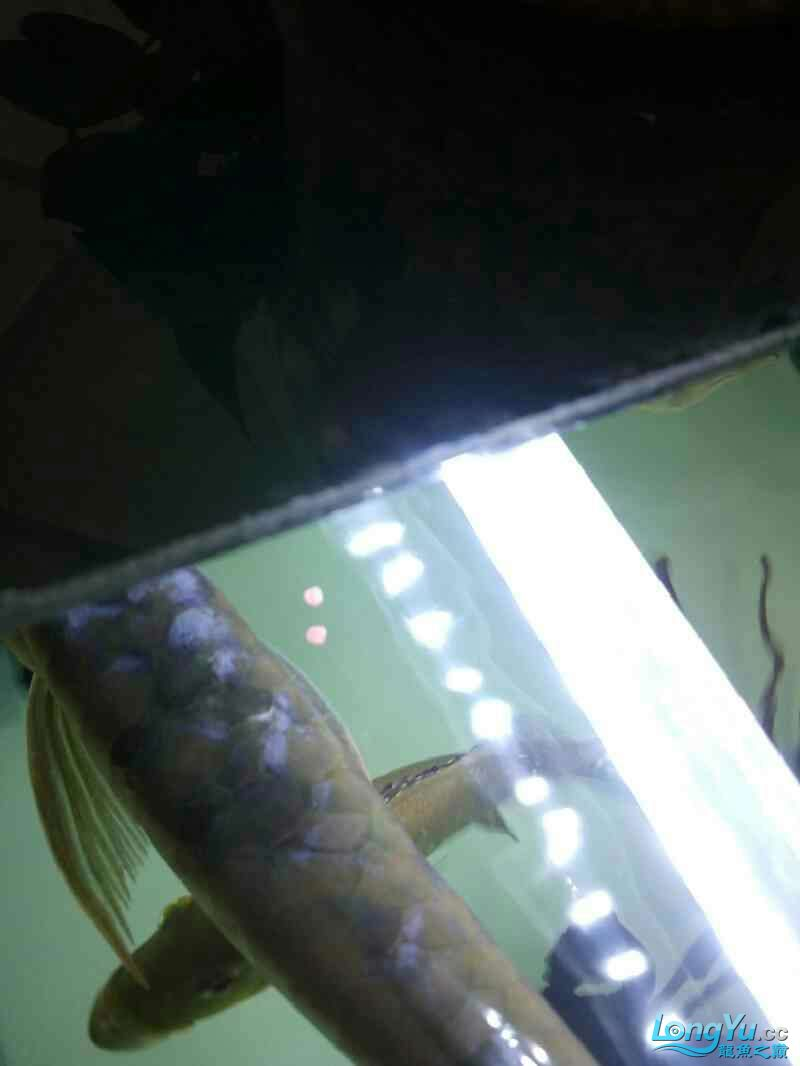 Yinlongs miserable jump jump Aquaculture Forum ASIAN AROWANA,AROWANA,STINGRAY The5sheet