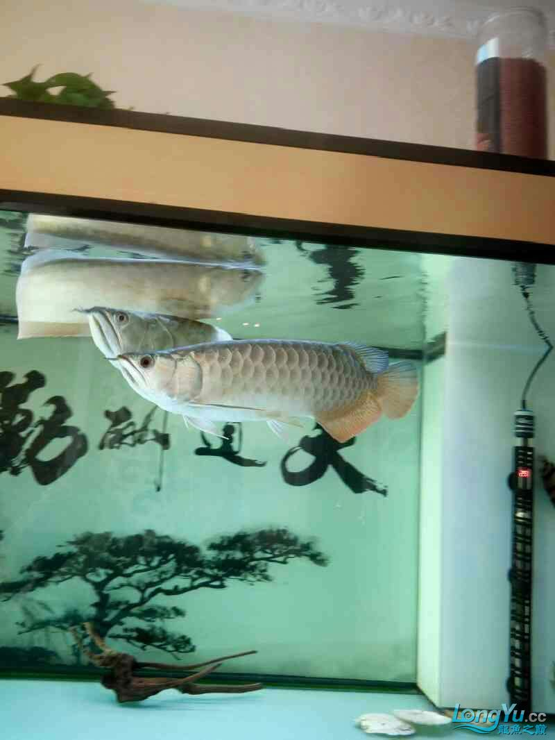 Yinlongs miserable jump jump Aquaculture Forum ASIAN AROWANA,AROWANA,STINGRAY The6sheet
