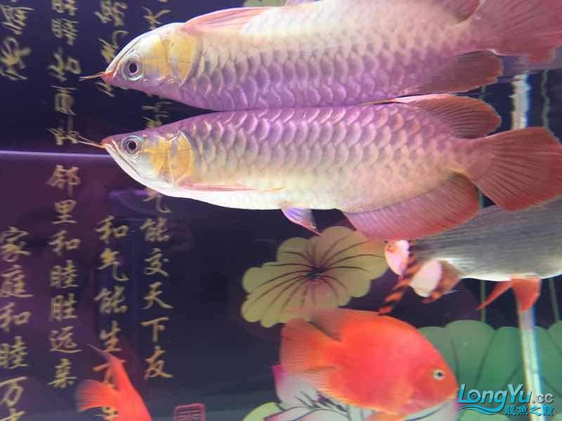 Okay is it red or orange? Aquaculture Forum ASIAN AROWANA,AROWANA,STINGRAY The6sheet