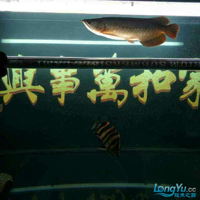 Persist in getting up every morning to change a quarter of new water to stimulate the Arowana fish