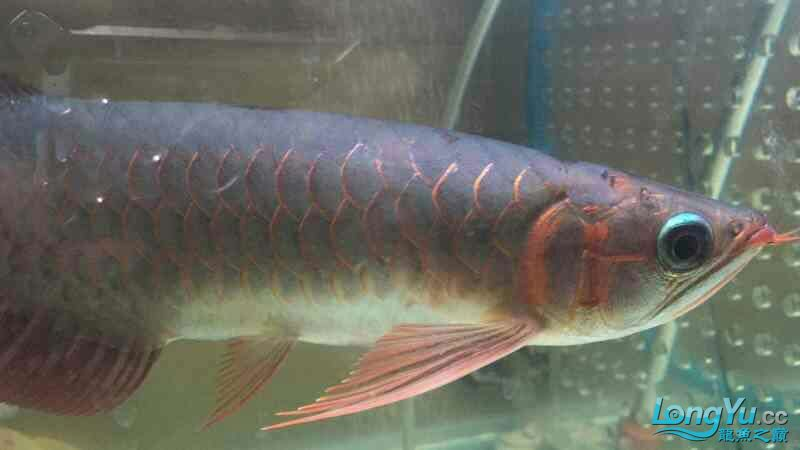 Little Super Red Arowana around 25