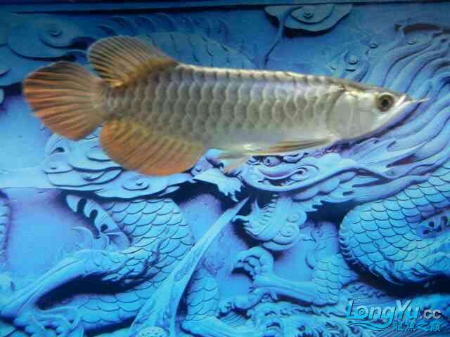 asian arowana for saleBuild a file for Xiaojin Aquaculture Forum ASIAN AROWANA,AROWANA,STINGRAY The1sheet