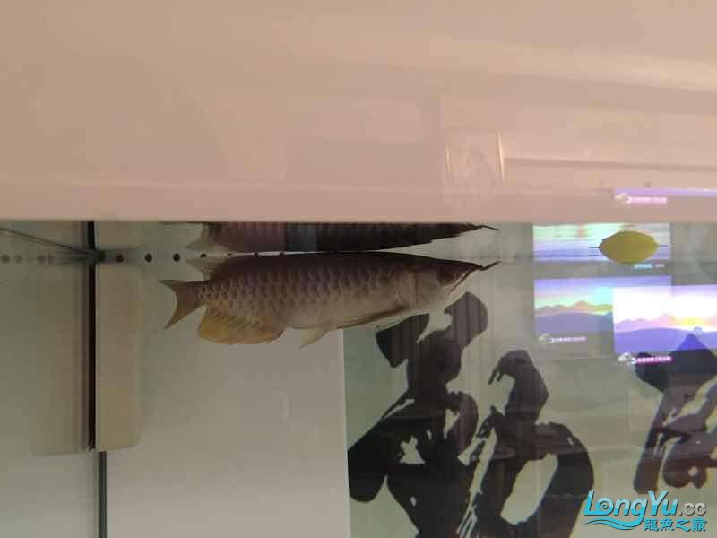 Is Arowana afraid of light
