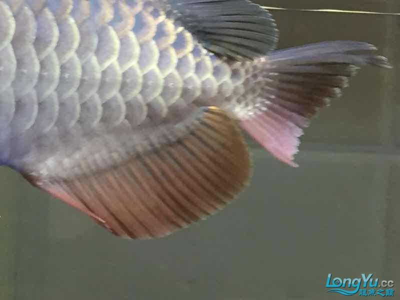 golden arowana cappuccinoGreat God help me see whats wrong with my fish thank you AROWANA Forum ASIAN AROWANA,AROWANA,STINGRAY The1sheet