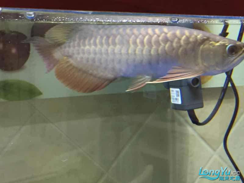 golden arowana cappuccinoGreat God help me see whats wrong with my fish thank you AROWANA Forum ASIAN AROWANA,AROWANA,STINGRAY The2sheet