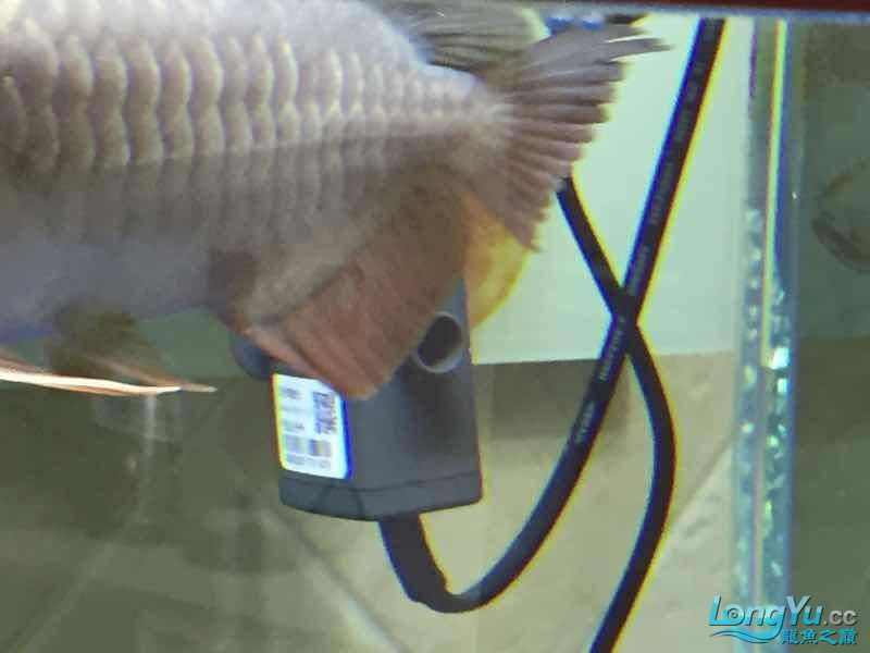 golden arowana cappuccinoGreat God help me see whats wrong with my fish thank you AROWANA Forum ASIAN AROWANA,AROWANA,STINGRAY The3sheet