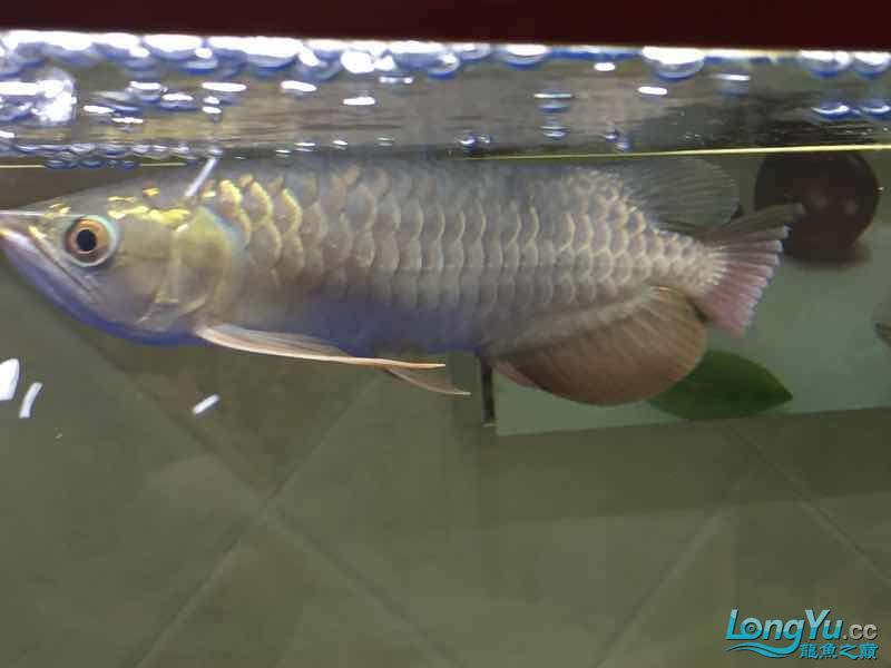 golden arowana cappuccinoGreat God help me see whats wrong with my fish thank you AROWANA Forum ASIAN AROWANA,AROWANA,STINGRAY The5sheet