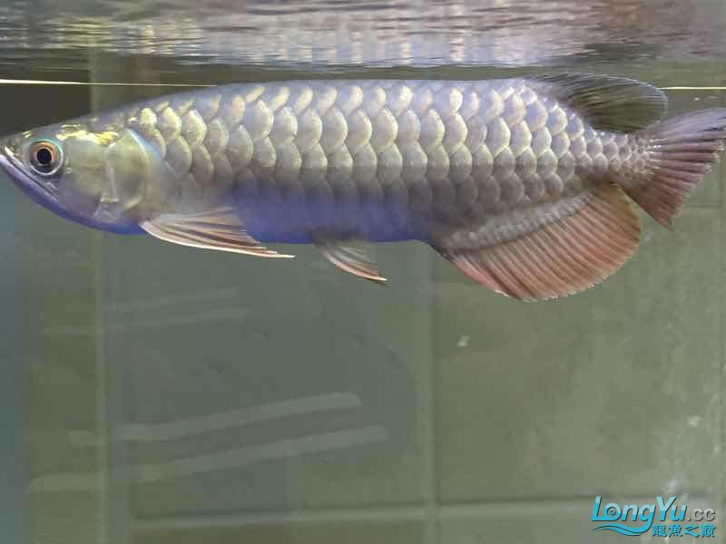 golden arowana cappuccinoGreat God help me see whats wrong with my fish thank you AROWANA Forum ASIAN AROWANA,AROWANA,STINGRAY The8sheet